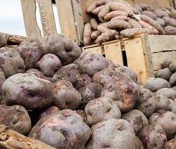 PATATA VERRAYES:NUOVO PRESÌDIO SLOW FOOD VALLE D'AOSTA